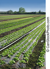 Fresh lettuce - Agriculture outdoors: fresh lettuce in the...