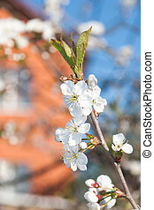 Flowering Cherry Tree against blue sky in Spring