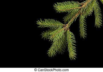 Spruce branch on a black background