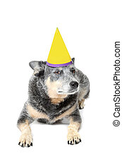 Dog Birthday - blue heeler dog with birthday hat isolated...