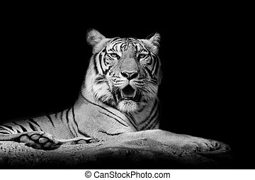 Black and White Close up tiger