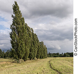 poplar and rain clouds - a field with poplars and rain...