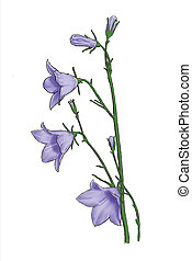 Bluebell - A lonely nice purplish bluebell