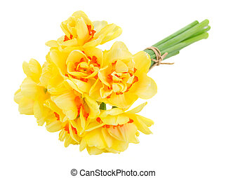 spring narcissus - spring yellow narciss flowers isolated on...