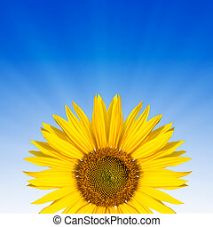 sunflower text space - sunflower ona blue background...