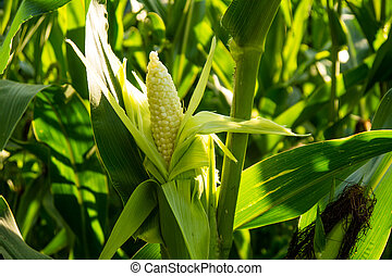 corn cob in a field in late summer