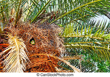 Big Argentina Parrot nests in the palm-tree. - Big Argentina...