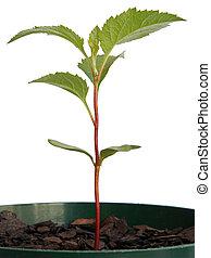 maçã, Seedling