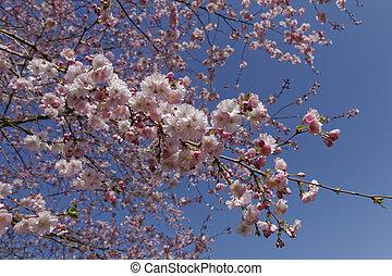 Prunus, Japanese cherry tree - Japanese cherry tree in...