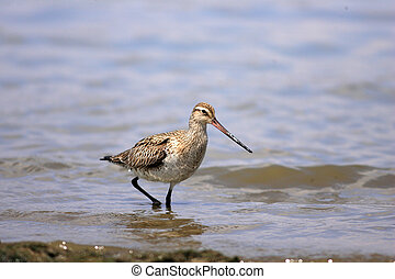 Bar-tailed Godwit (Limosa lapponica) in Australia