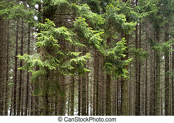 forset with conifers - Thick forest with branches of...