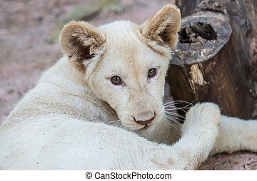 Close-up of White lion baby in the zoo