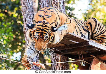 Feeding the Bengal tiger (Panthera tigris tigris) in the zoo
