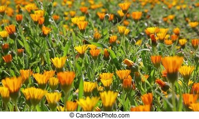 Field of orange daisies