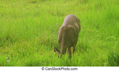 beautiful female samba deer standin - beautiful female samba...