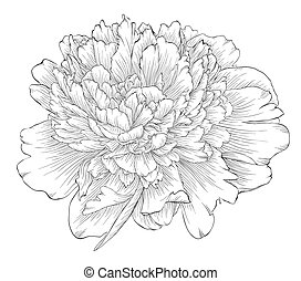 beautiful monochrome black and white peony flower isolated...