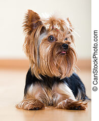 small Yorkshire Terrier dog - Portrait of small Yorkshire...