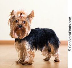 Yorkshire Terrier dog standing on floor indoor