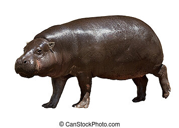 hippopotamus. Isolated over white