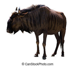 blue wildebeest - blue wildebeest (Connochaetes taurinus)....