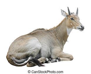 Nilgai (Boselaphus tragocamelus), also known as nilgau....