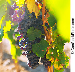 bunch of grapes at vineyards plant - Close-up of bunch of...