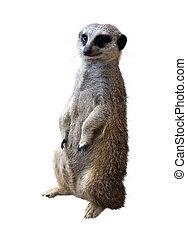 Suricata - Meerkat (Suricata suricatta). Isolated on white...