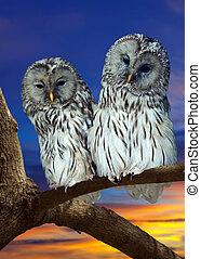 Two Great Grey Owls - Two Great Grey Owls (Strix nebulosa)...