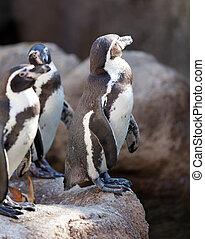 Humboldt penguins Spheniscus humboldti on rocks