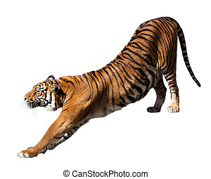 tiger, isolated  over white