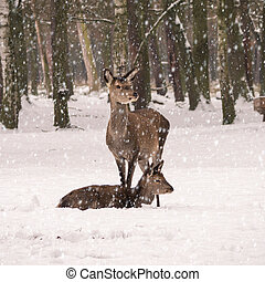 roe deer in a forest on a snowy winter day