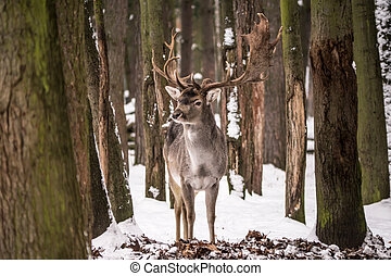 red deer -  red deer between trees in a forest with snow