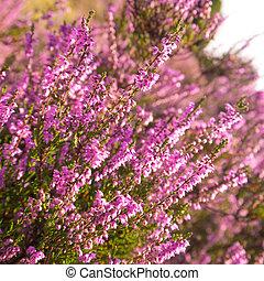 heather - close up of heather in Lueneburg Heath in summer