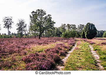 Lueneburg Heath - a path in Lueneburg Heath on a sunny...
