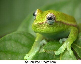 manchado, Treefrog, (Hypsiboas, punctatus)