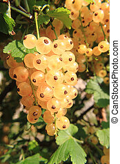 white currant fruit as nice natural food background