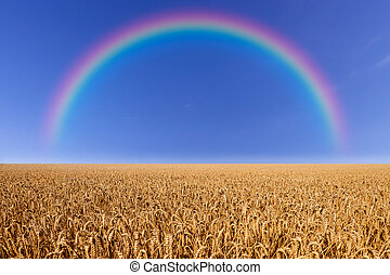 wheat field with rainbow and a blue sky in summer
