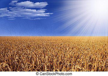 wheat field with sunlight and rain with some clouds