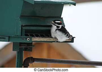 Hairy Woodpecker-Picoides villosus - Male Hairy Woodpecker...