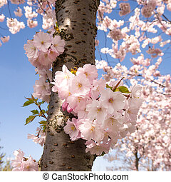 Japanese cherry tree and blue sky in spring