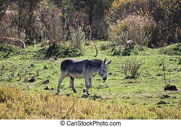 Donkley in Field - Gray Donkey walking through a field of...