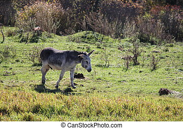 Donkley in Field - Gray Donkey walking through a field of...