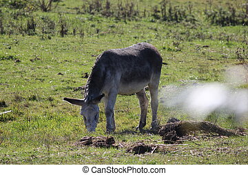 Donkley in Field - Gray Donkey standing in a field of tall...