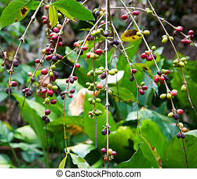 Coffee plant - Branches of the coffee plant with coffee...