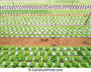 Hydroponic vegetables growing in greenhouse.
