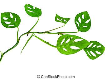 bonito, longo, jovem, verde, monstera, (var., expilata),...