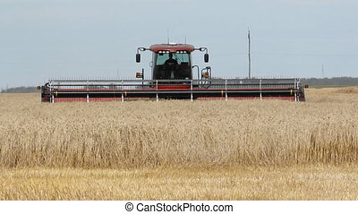 Swather cutting wheat - Swather cutting fall wheat in a...