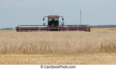 Swather cutting wheat. - Swather cutting fall wheat in a...