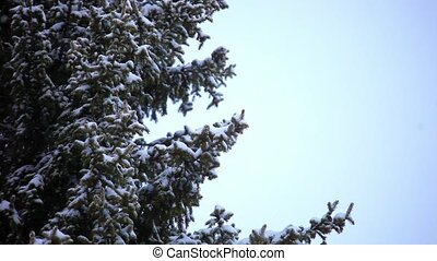 magpie bird sitting on a tree during snowfall in winter. HD....