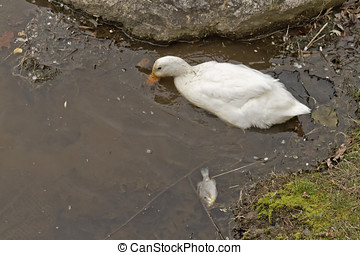 Duck Foraging By a Dead Fish - A white duck forages in...